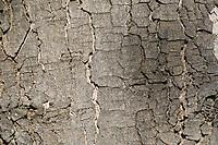 Berg-Ahorn, Bergahorn, Rinde, Borke, Stamm, Baumstamm, Ahorn, Acer pseudoplatanus, Sycamore, Erable sycomore, sycamore maple, maple, bark, rind, trunk, stem, L'érable sycomore