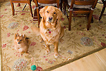 a golden retreiver and pomeranian look longingly in unison