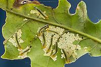 Kleine Lindenblattwespe, Larve, Larven fressen an Eiche, Eichenblatt, Kleine Linden-Blattwespe, Caliroa annulipes, Eriocampoides annulipes, Oak Slug Sawfly, oak slugworm, oak-sawfly, larva, larvae, La Tenthrède limace des feuillus