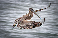 A juvenile Brown Pelican in flight at La Jolla Cove near San Diego, California.