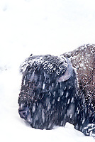 610658508 a lone wild bison bison bison with a snow covered and frost bitten coat forages in deep snow during a winter snowstorm in yellowstone national park wyoming