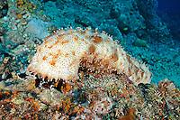 Bohadschia graeffei, Strichel-Seegurke, Leopard Sea Cucumber, Graeff's Sea Cucumber, Tulamben, Bali, Indonesien, Indopazifik, Bali, Indonesia Asien, Indo-Pacific Ocean, Asia