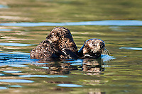 Sea Otter, with young, California