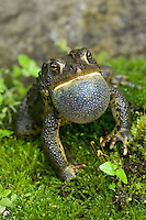 American Toad expands throat sac to make mating call in Spring.  May. Lake Ontario, Ontario.