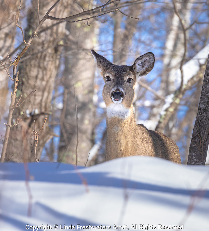 White-tailed doe just finished mouthing a small tree.  Strands of saliva running from her mouth to the wet spot on the tree to her right.