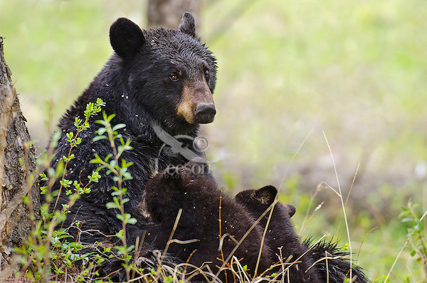 "Wild Black Bear (Ursus americanus) mother nursing cubs.  Western U.S., spring. (These are what are known as ""coys""--cubs of the year.)"