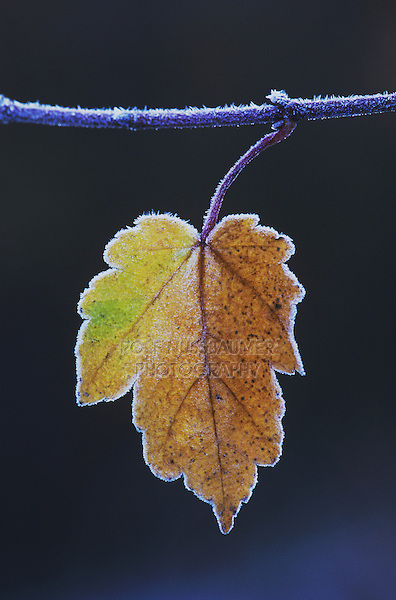 Red Maple (Acer rubrum), leaf rimmed in frost, Raleigh, Wake County, North Carolina, USA