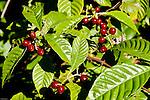Wild coffee is found in hardwood hammock understories.