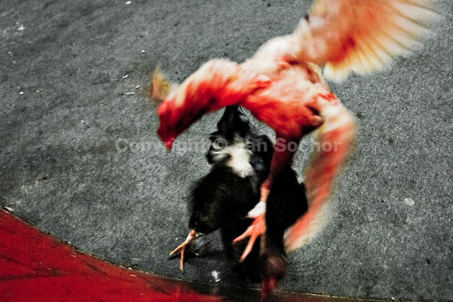 A white fighting cock covered in blood attacks its rival in the arena in Santa Marta, Colombia, 20 May 2006. Cockfight is a widely popular and legal sporting event in much of Latin America. The fight is usually held in an arena (gallera) with seats for spectators. There is always gambling involved in cockfights. People take advantage of cock's natural, strong will to fight against all males of the same species. Birds are specially bred to increase their aggression and stamina, they are given the best of food and care. The cocks are equipped with tortoise-shell made gaffs tied to the bird's leg. The fight is not intentionally to the death but it may result in the death of cocks very often because birds never stop fighting. They may bleed, they may have punctured lungs, both eyes pecked out but they naturally fight to the death.