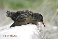 "0102-08mm  Virginia Rail ""Freshwater Marsh Bird"" - Rallus limicola   © David Kuhn/Dwight Kuhn Photography."