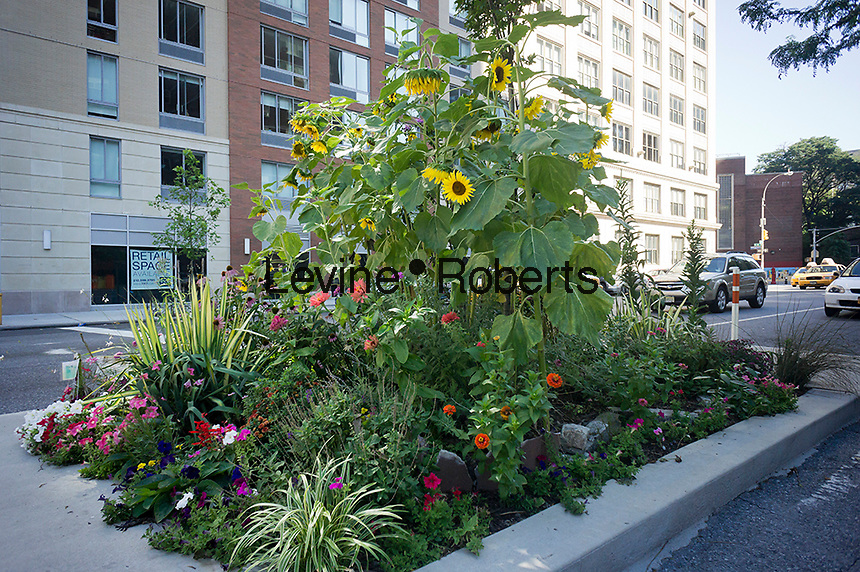 A small garden tended by local residents in one of the safety islands on Ninth Avenue, separating traffic from the bicycle lane, in the New York neighborhood of Chelsea on Sunday, July 22, 2012. (© Richard B. Levine)