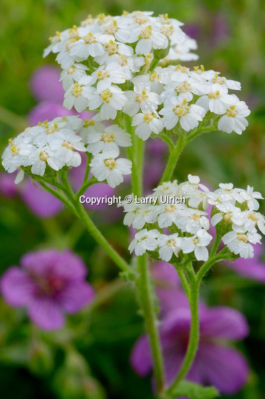 Yarrow (Achillea lanulosa) and sticky geranium (geranium viscosissimum),  Rock Creek Canyon<br /> Lolo National Forest<br /> Rocky Mountains, Montana