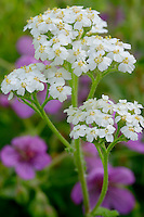 Yarrow (Achillea lanulosa) and sticky geranium (geranium viscosissimum),  Rock Creek Canyon<br />