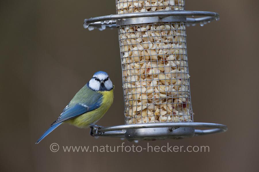 Blaumeise, an der Vogelfütterung, Erdnüsse, Futtersilo, Blau-Meise, Meise, Meisen, Cyanistes caeruleus, Parus caeruleus, blue tit
