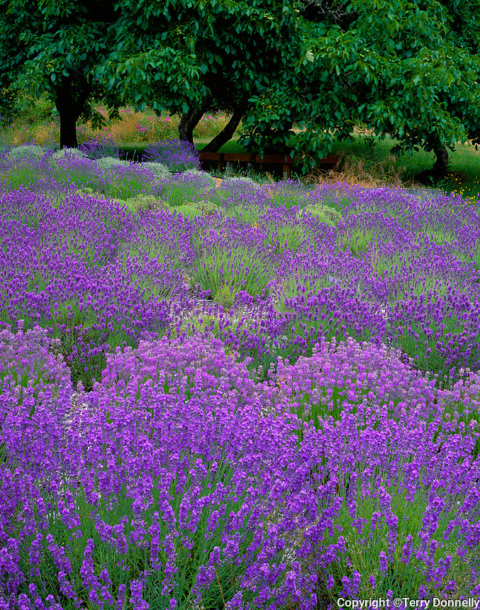 Vashon Island, WA<br /> Curving rows of lavender (Lavendula vera) in a cultivated field