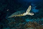 Eretmochelys imbricata, Hawksbill, Hawksbill sea turtle, Suanggi Island, Indonesia