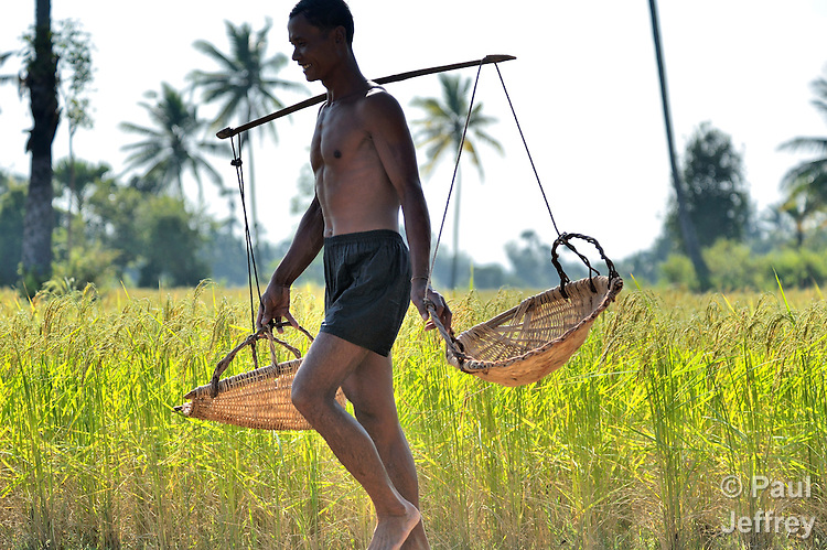 A man carries yoked baskets through a rice field in Khnach, a village in the Kampot region of Cambodia.