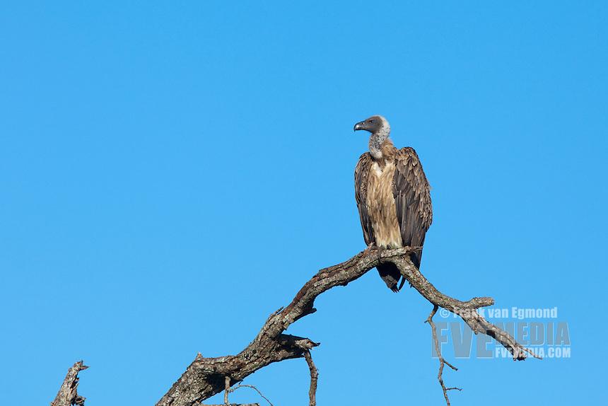 White-backed vulture (Gyps Africanus)...Hluhluwe Imfolozi Game Reserve..Kwazulu-Natal, South Africa..November 2010.