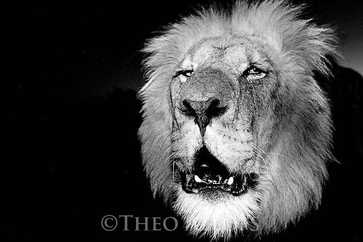 Botswana, Kalahari, private game reserve, male lion roaring at dusk, portrait, captive