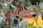 Apogon lachneri, Whitestar cardinalfish, Roatan
