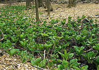 PLANTS<br /> Skunk Cabbage<br /> Symplocarpus foetidus, Butler Preserve, NY<br /> Skunk Cabbage has been used as a medicinal plant for spasmodic conditions in the lungs. It will act to relax and ease irritable cough.