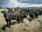 Black (Angus) cattle in a summer pasture in the Big Hole Valley of Montana.