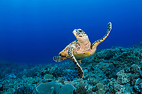 hawksbill sea turtle, Eretmochelys imbricata, critically endangered species, Turtle Alley dive site, Kandavu Island, Fiji, South Pacific Ocean