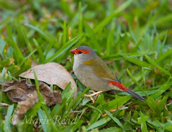 Red-browed Finch (Neochmia temporalis), Julatten Queensland, Australia.