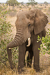 African Elephant (Loxodonta africana) bull resting trunk on tusk, Kruger National Park, South Africa