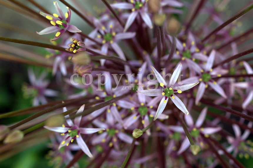 Close up of a Schubert Onion (Allium schubertii)