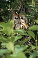 Waldkauz, Strix aluco, Wald-Kauz, Kauz, Käuzchen, tawny owl