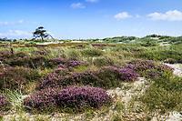 Blommande ljungfält vid Hagestads naturreservat i Skåne