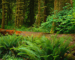 Olympic National Park, WA<br /> Sword ferns (Polystichum munitum) border a fallen tree trunk in a vine maple and Douglas Fir forest along the Hall of Mosses trail