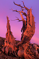 730252036v an ancient bristlecone pine pinus longeava clings to a rocky hillside in sunset light in the white mountains of central california