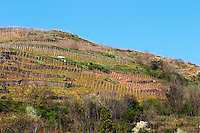 Condrieu vineyards in spring. Condrieu, Rhone, France, Europe