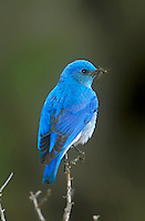 Mountain Bluebird, Wenas Creek, Washington