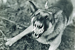 angry, barking German Shephard attack dog