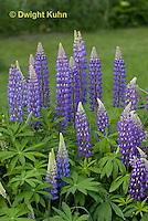 FB04-504z Lupine Flowers, Lupinus perennis