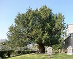 Ancient yew tree, Taxus baccata, dated at 1700 years old All Saints Church, Alton Priors, Wiltshire, England, UK