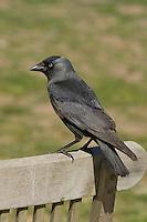 Dohle, Corvus monedula, Jackdaw, Choucas des tours