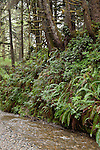 Prairie Creek Redwoods State Park, Orick, California; Fern Canyon and Home Creek