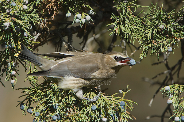 Cedar Waxwing, Bombycilla cedrorum, young eating juniper tree berries, Yellowstone NP,Wyoming, September 2005