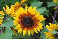 Helianthus 'Solar Flare' bicolor yellow gold and brown sunflowers annuals