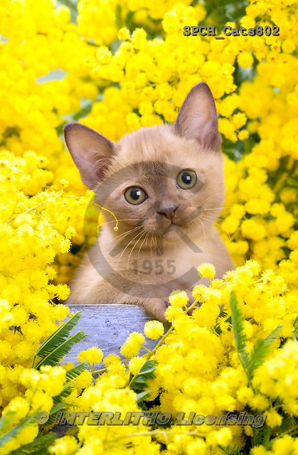 Xavier, ANIMALS, REALISTISCHE TIERE, ANIMALES REALISTICOS, cats, photos+++++,SPCHCATS802,#a#