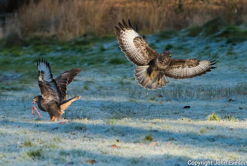Buzzards at Gigrin Farm, Rhayader, Powys, Wales.