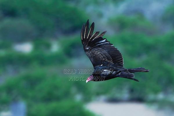 Turkey Vulture (Cathartes aura), adult in flight, Rio Grande Valley, Texas, USA