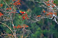 scarlet macaw, Ara macao, feeding on flowers, Tambopata Province, Peru, South America