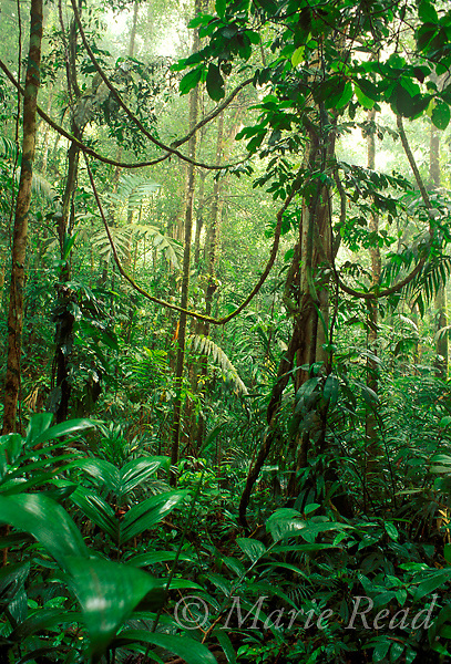 Neotropical rainforest interior, Nusagandi, Panama<br /> Slide # SP6-32