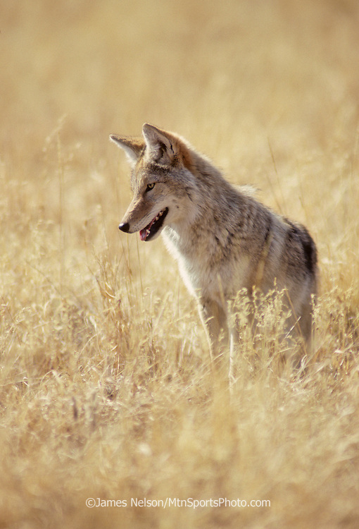 16-61. A coyote pauses in a meadow in Yellowstone National Park in western Wyoming.