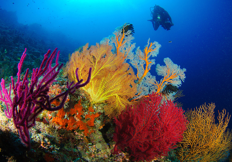 A diver looks on at a very colourful reef near Morovo lagoon, with large gorgonian sea fans (Subergorgia sp.) of various bright colours, Solomon Islands